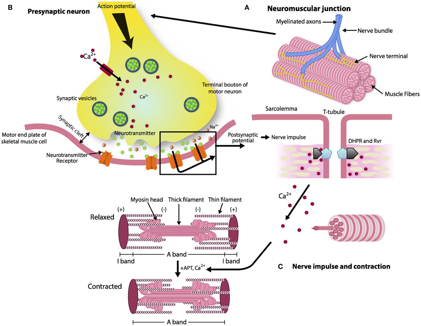 Neuromuscular Junction Model