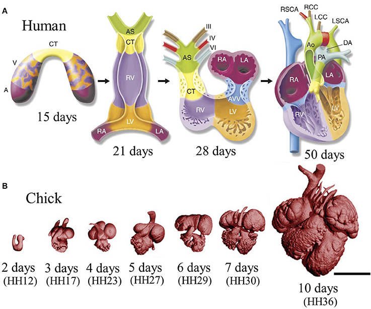 Frontiers | Mechanical regulation of cardiac development | Physiology