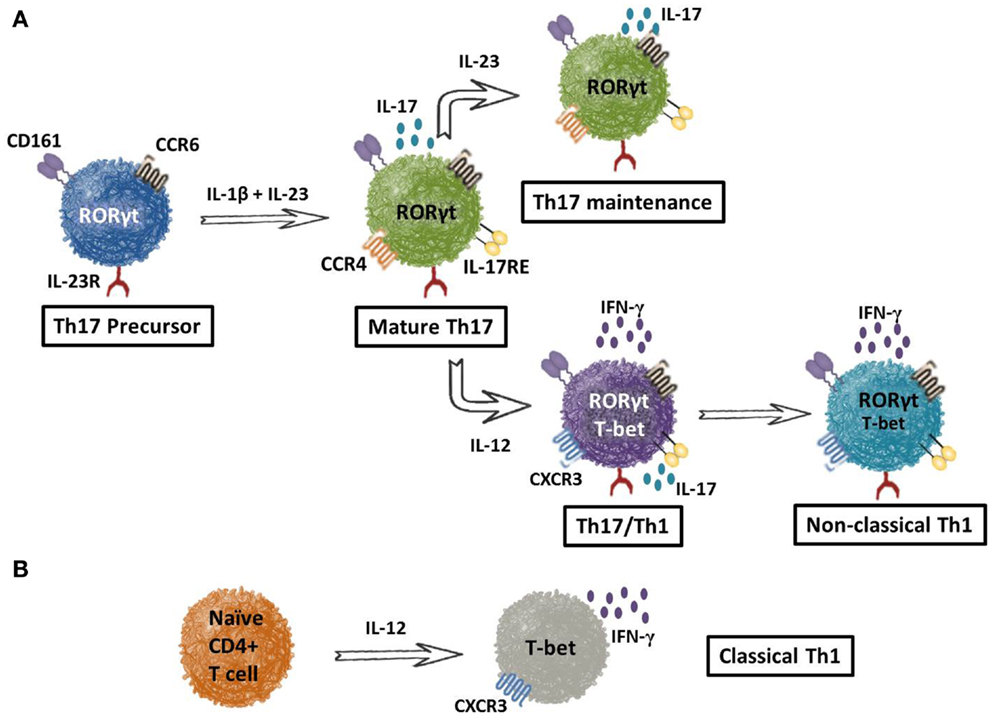A (2010b) Circulating Th17, Th22, and Th1 cells are increased in psoriasis 1