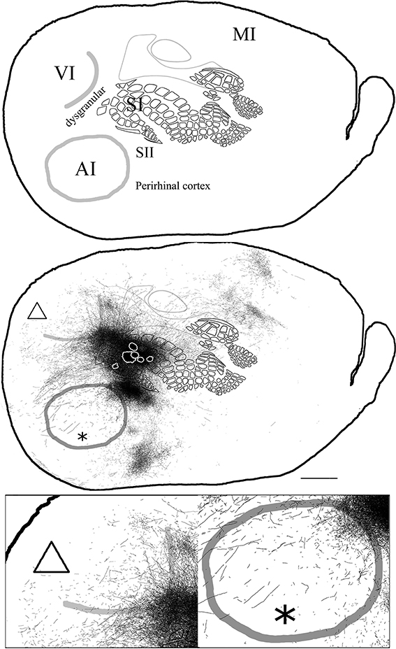 Frontiers | Unimodal primary sensory cortices are directly ...