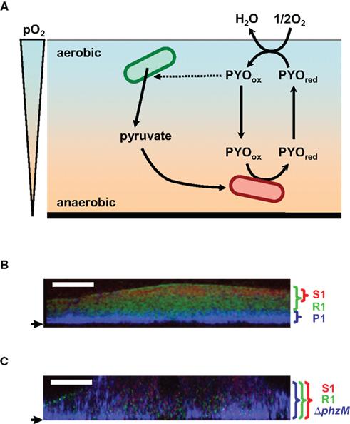 Anaerobic Metabolism: Regulation And Function Of Versatile Aerobic