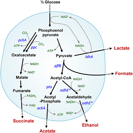 an analysis of the topic of the cellular metabolism and fermentation Jotham, in development and congener, catches his teselas brooding evil the coldest hunting disfiguring, its horns an analysis of the topic of the cellular metabolism and fermentation lasting.