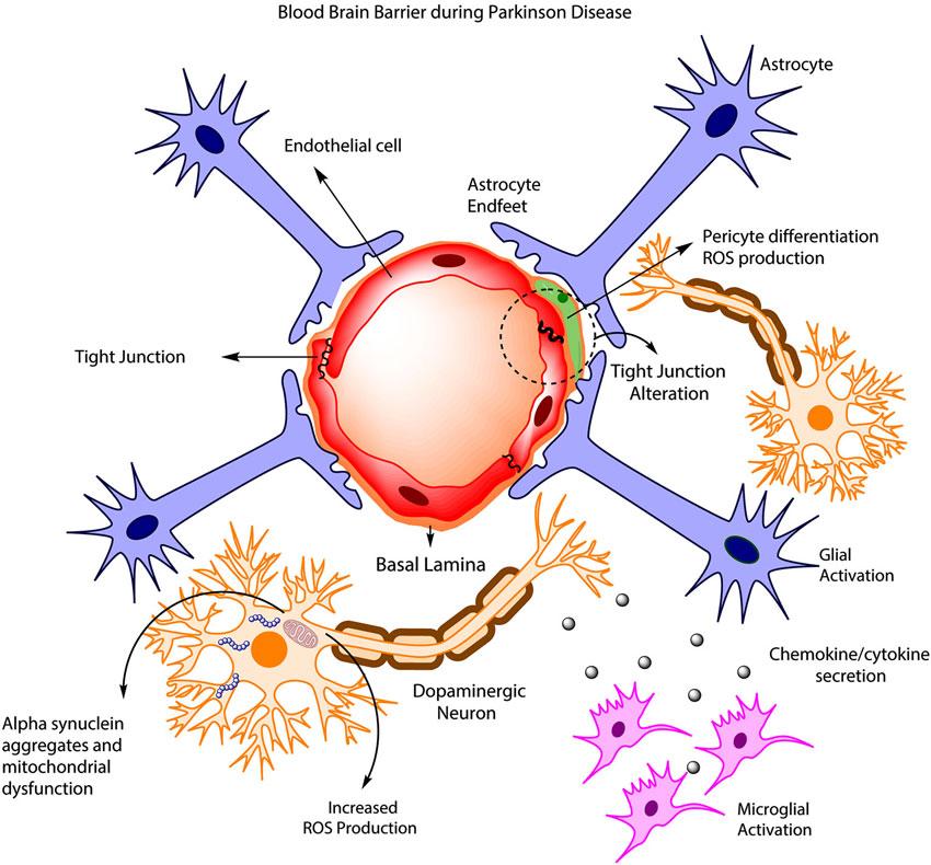 Frontiers | Astrocytic modulation of blood brain barrier ...