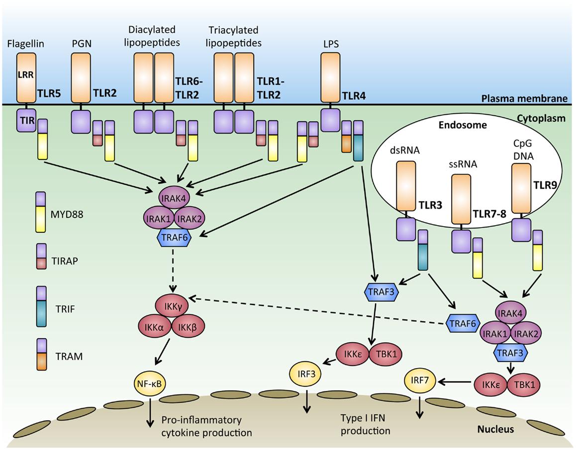 signal transduction mechanism for estrogen a steroid hormone
