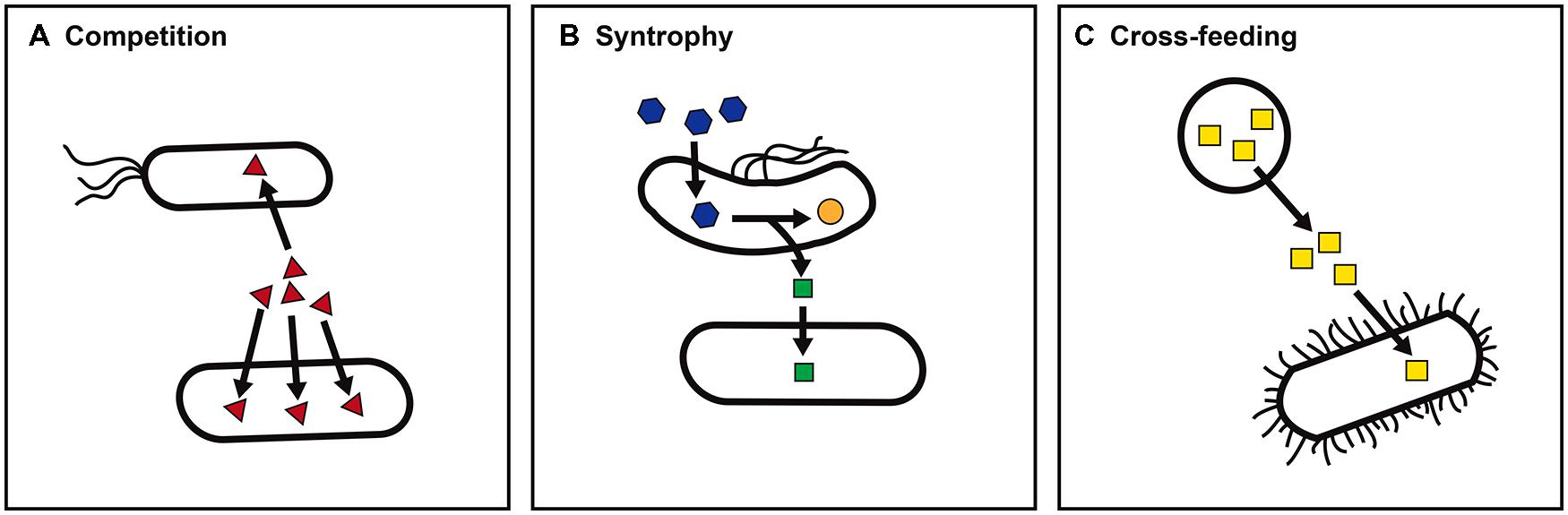 propionate gut bacteria