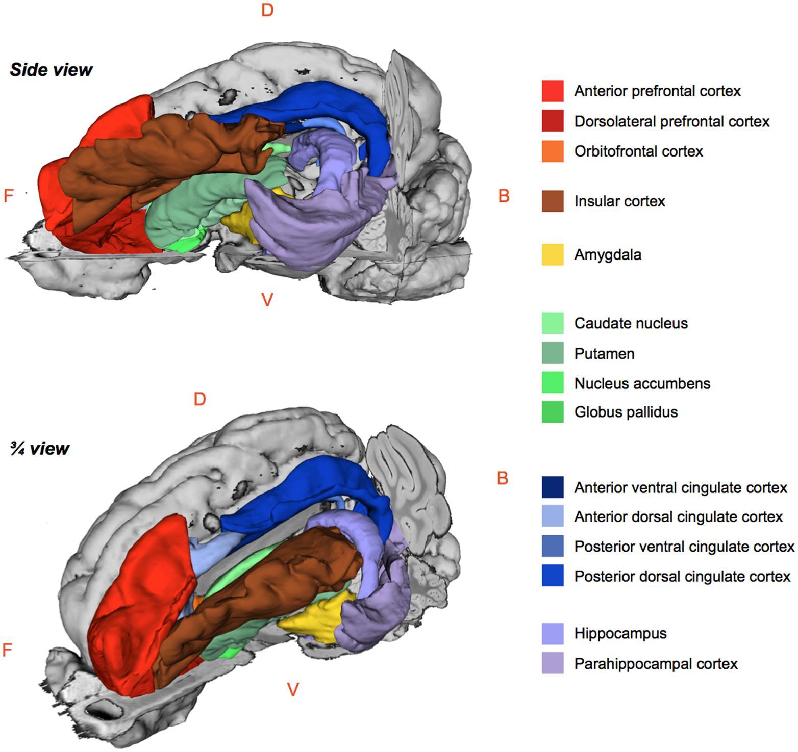 Monkey Brain Anatomy