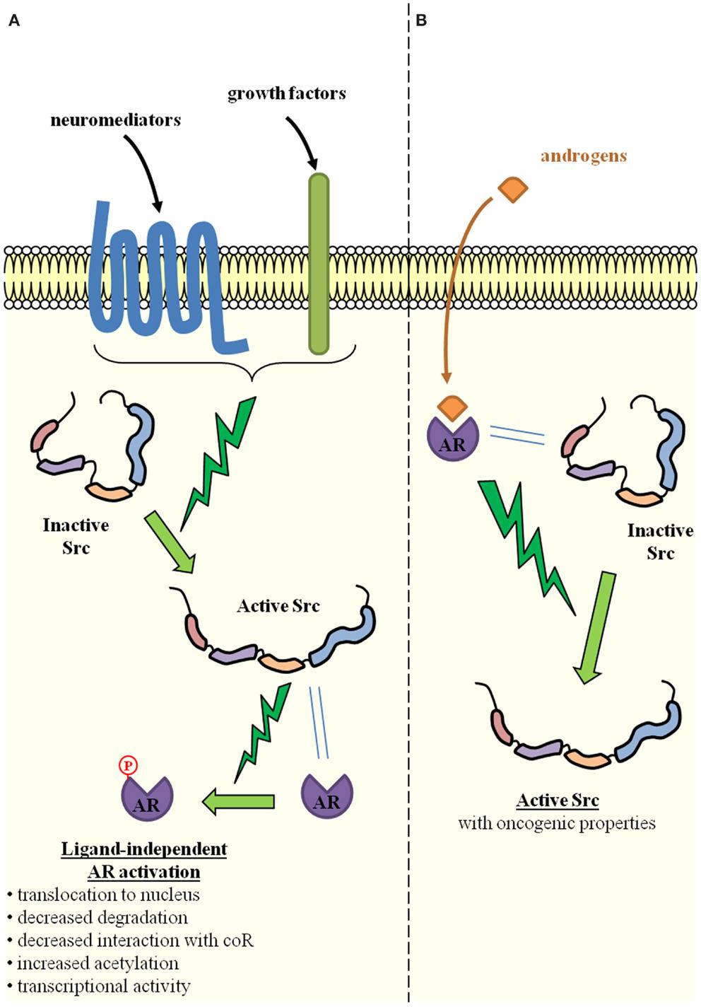p160 steroid receptor coactivator