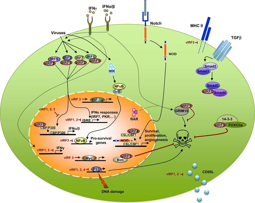 interferon regulatory factors essay Interferon regulatory factors (irfs) were transcription factors which bound to the isres (interferon-stimulated response element)and mainly regulated the.