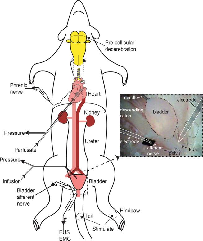 Rats respiratory system dawaydabrowa rats respiratory system ccuart Choice Image