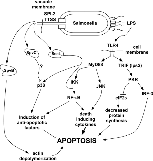 Mesh info additionally Salmonella Infection Mechanism additionally Silly God Put Sinners On Ark in addition View furthermore UNBiol8. on salmonella typhi diagram