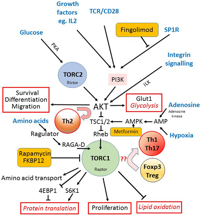 Frontiers | Nutrient Sensing via mTOR in T Cells Maintains a ...