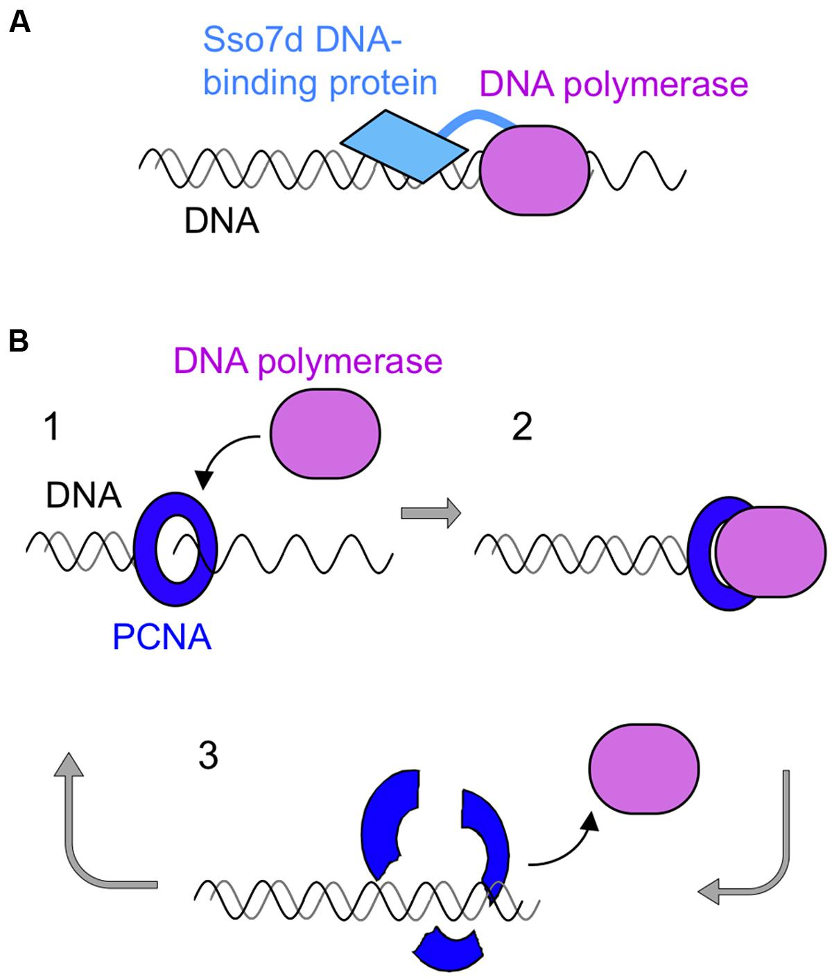 Frontiers Dna Polymerases As Useful Reagents For