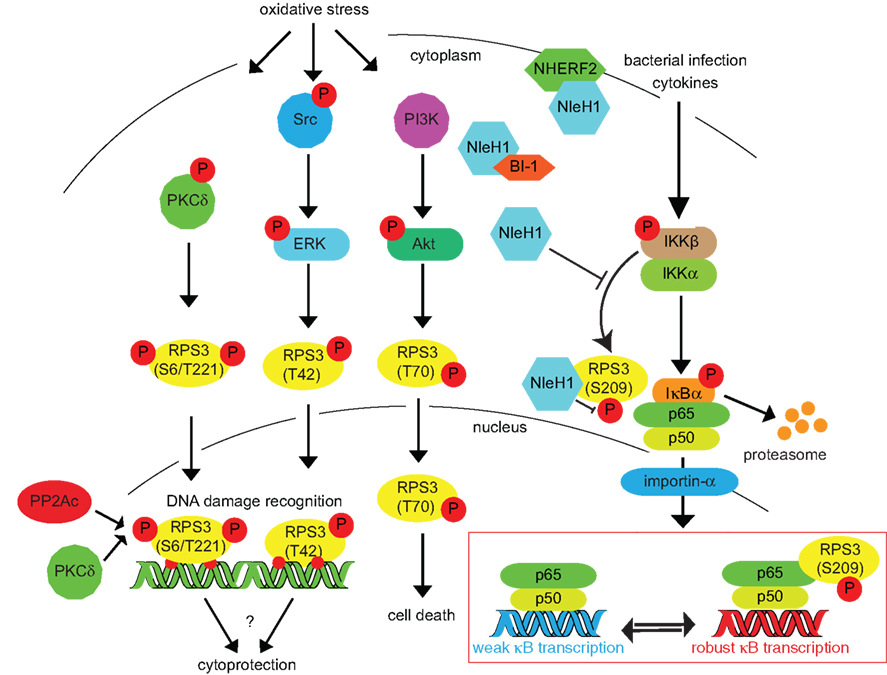 Frontiers Ribosomal Protein S3 A Multifunctional Target