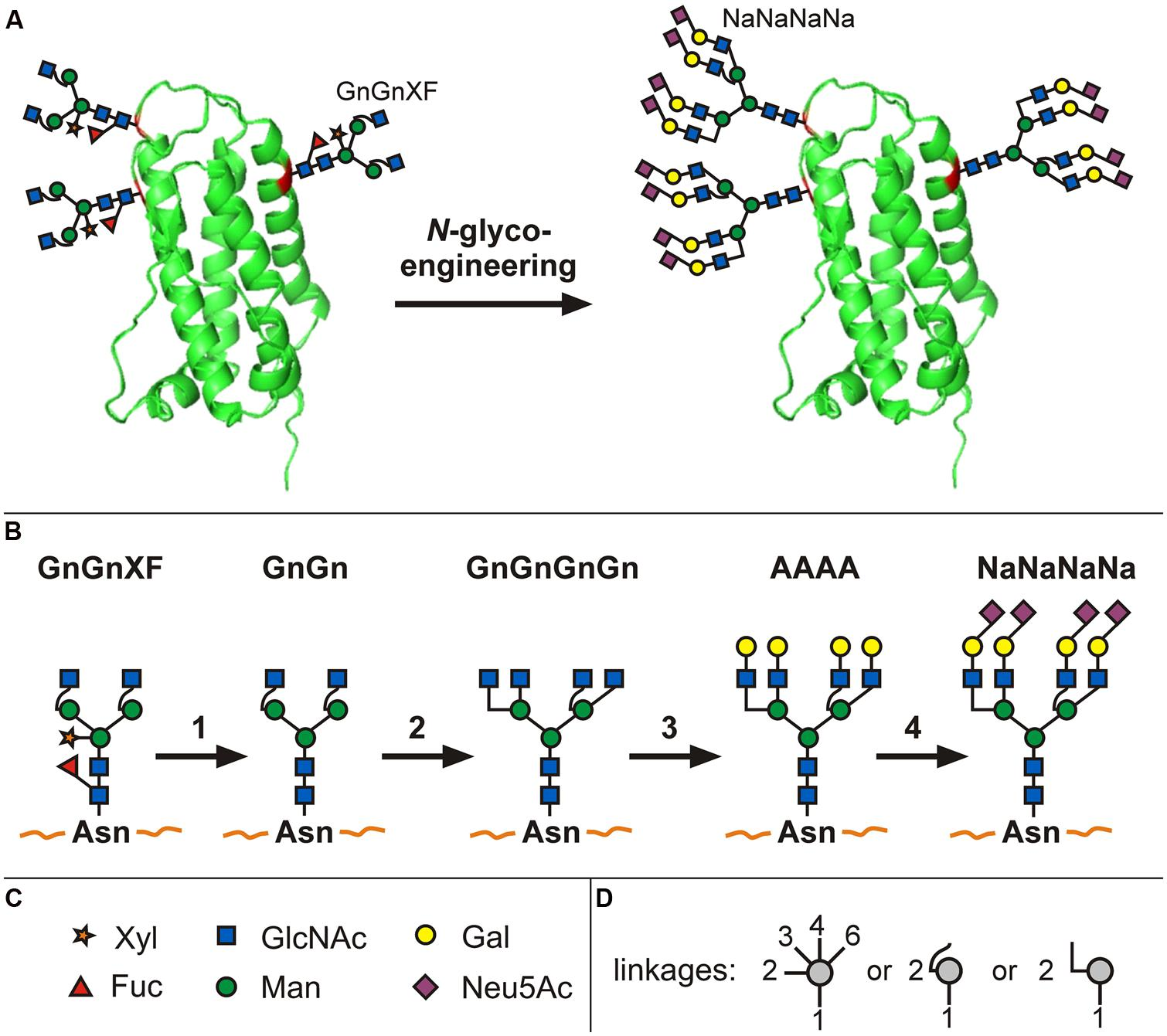 an introduction to the glycoprotein erythropoietin Red blood cell production is regulated by the glycoprotein hormone  erythropoietin  on the contrary, the introduction of additional n-glycans into  recombinant.
