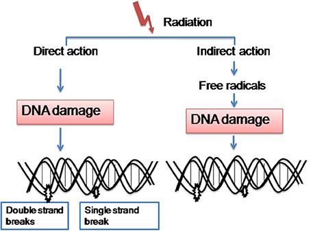 non genomic effects steroid hormones