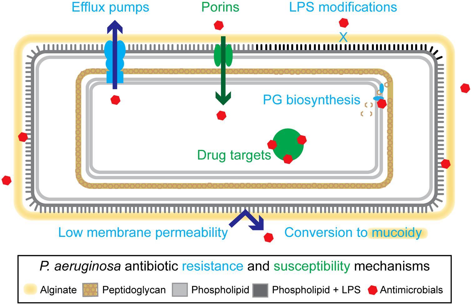 Ciprofloxacin - Cipro - Intravenous (IV) Dilution - Globalrph