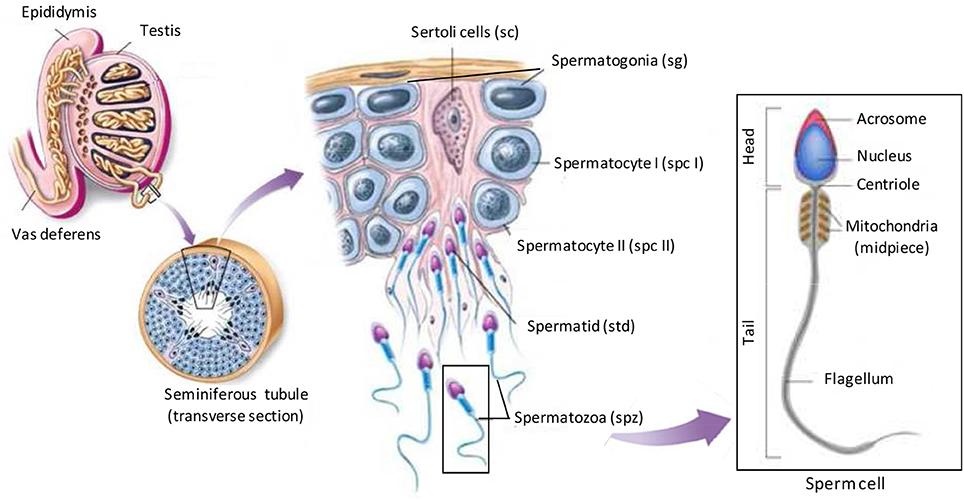 A new simple technique of epididymal sperm collection
