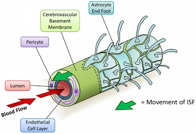 Frontiers | The Cerebrovascular Basement Membrane: Role in the ...