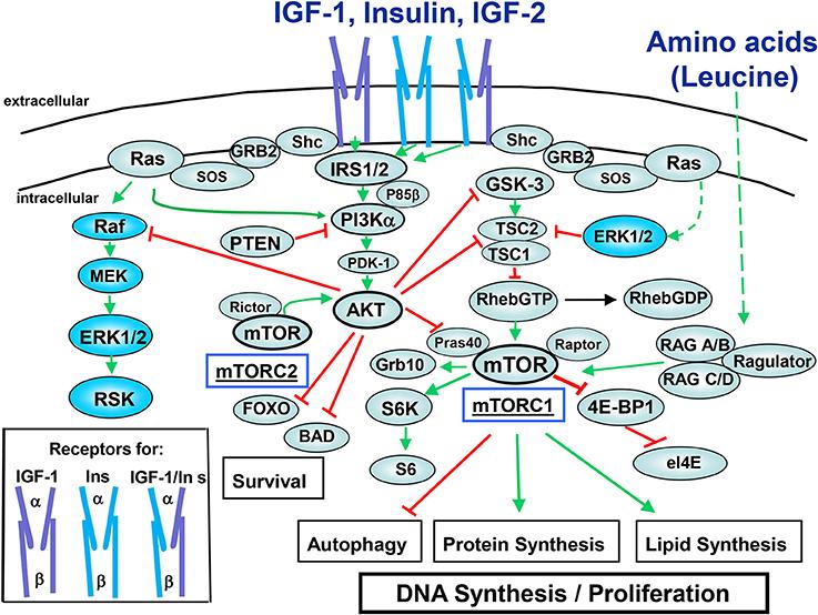 the role of insr and irs-1 phosphorylation essay Sample records for regulating insulin gene  1 inhibited insr phosphorylation and glucose uptake in  -induced activation of irs-1 and phosphorylation of akt.