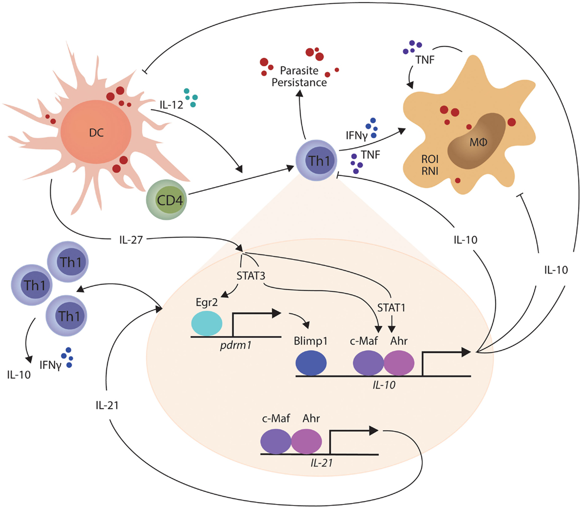 Frontiers the regulation of cd4 t cell responses during protozoan