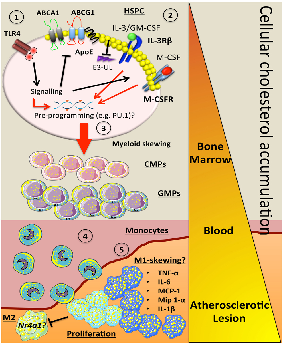 cholesterol pathway steroid hormone biosynthesis