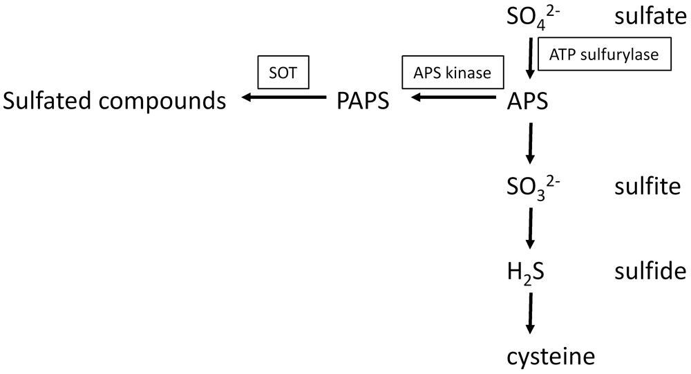 brassinosteroids are master regulators of gibberellin biosynthesis in arabidopsis