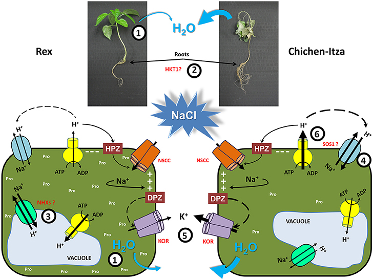 Frontiers | Mechanisms of salt tolerance in habanero ...