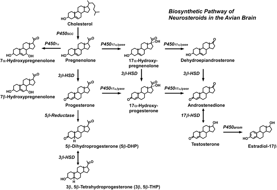 Frontiers | Neurosteroid Biosynthesis and Function in the