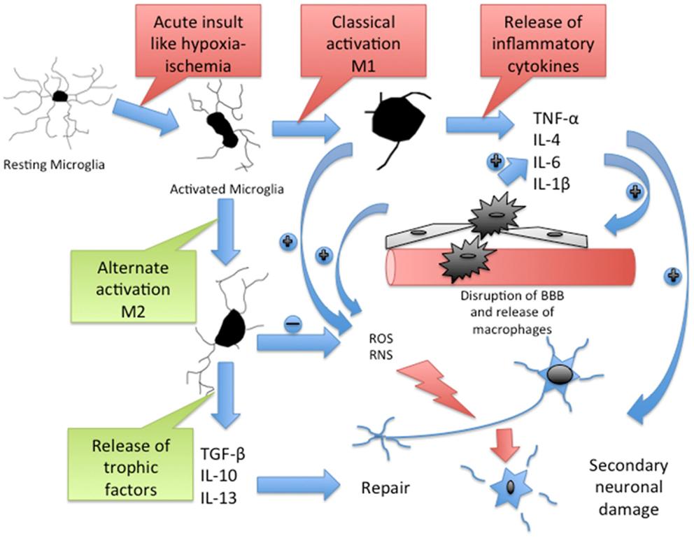 Frontiers | Neuroinflammation and Neuroimmune Dysregulation after ...