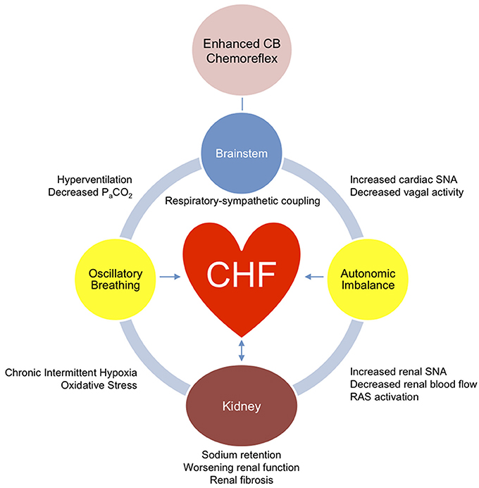 Frontiers   Central role of carotid body chemoreceptors in ...