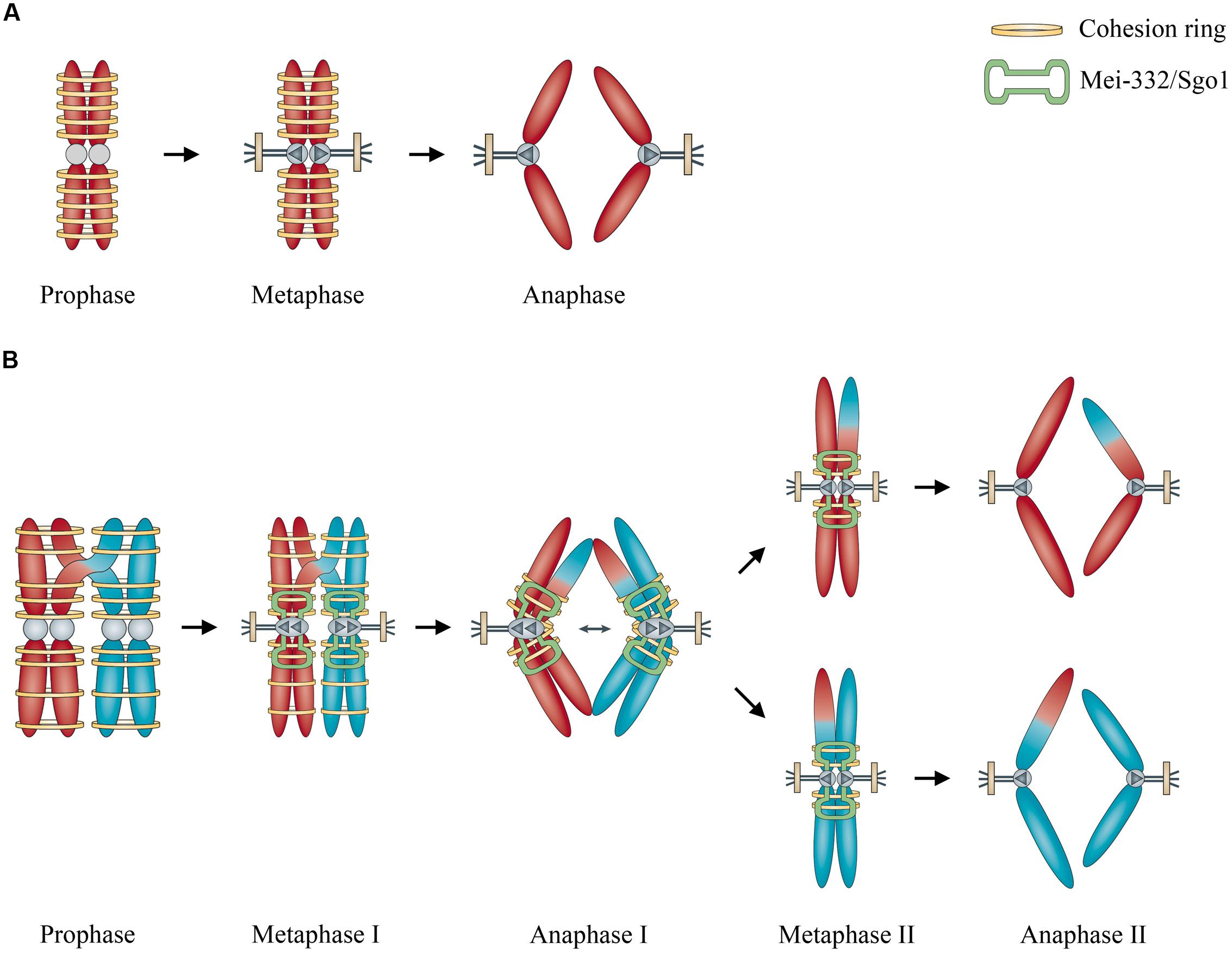 an analysis of the reproduction of the cells by meiosis It's meiosis that gives us the male and female reproductive cells known as the  egg and sperm in meiosis, two cell divisions take place, which.