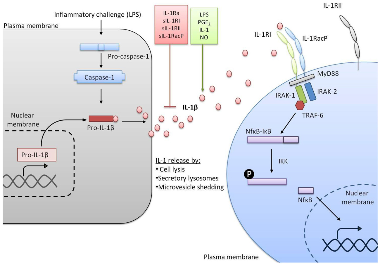 il-1 pathways in inflammation and human diseases pdf