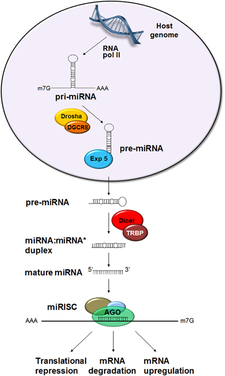 Mirna Regulation of Gene Expression Mirna Genes Are Expressed by