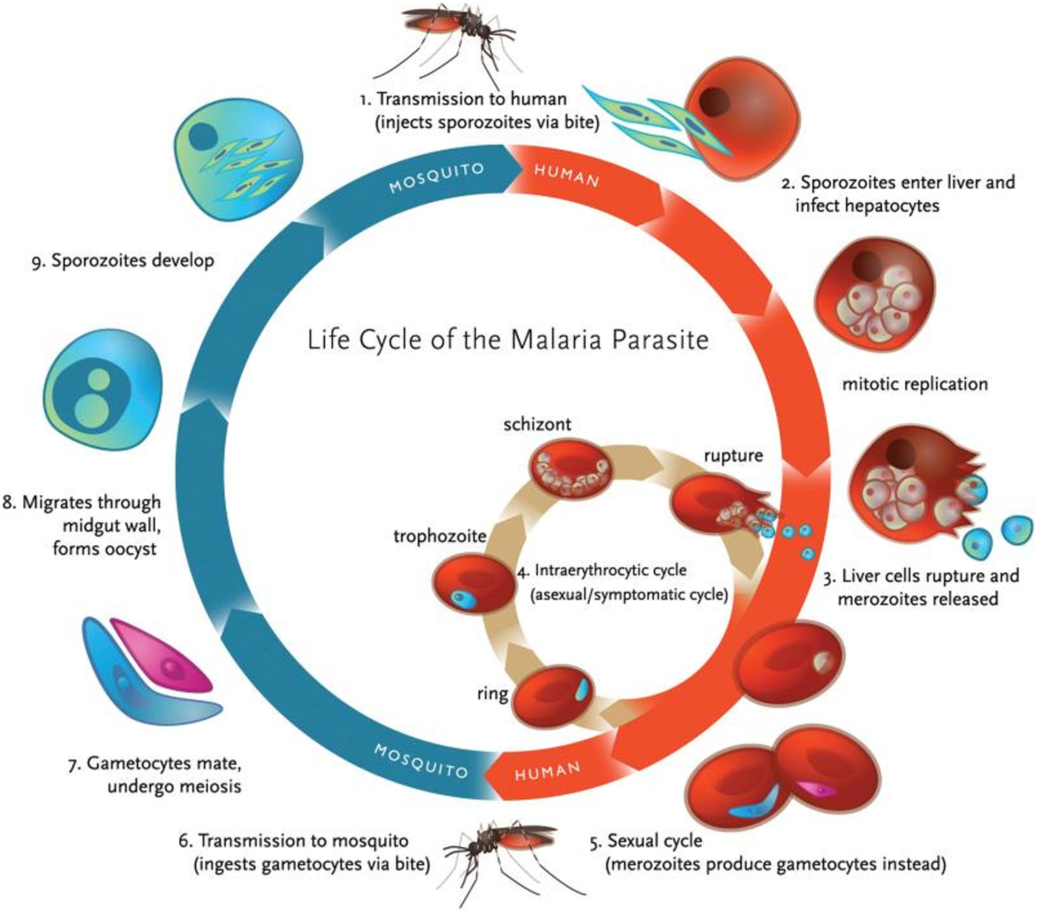 malaria review article 2013