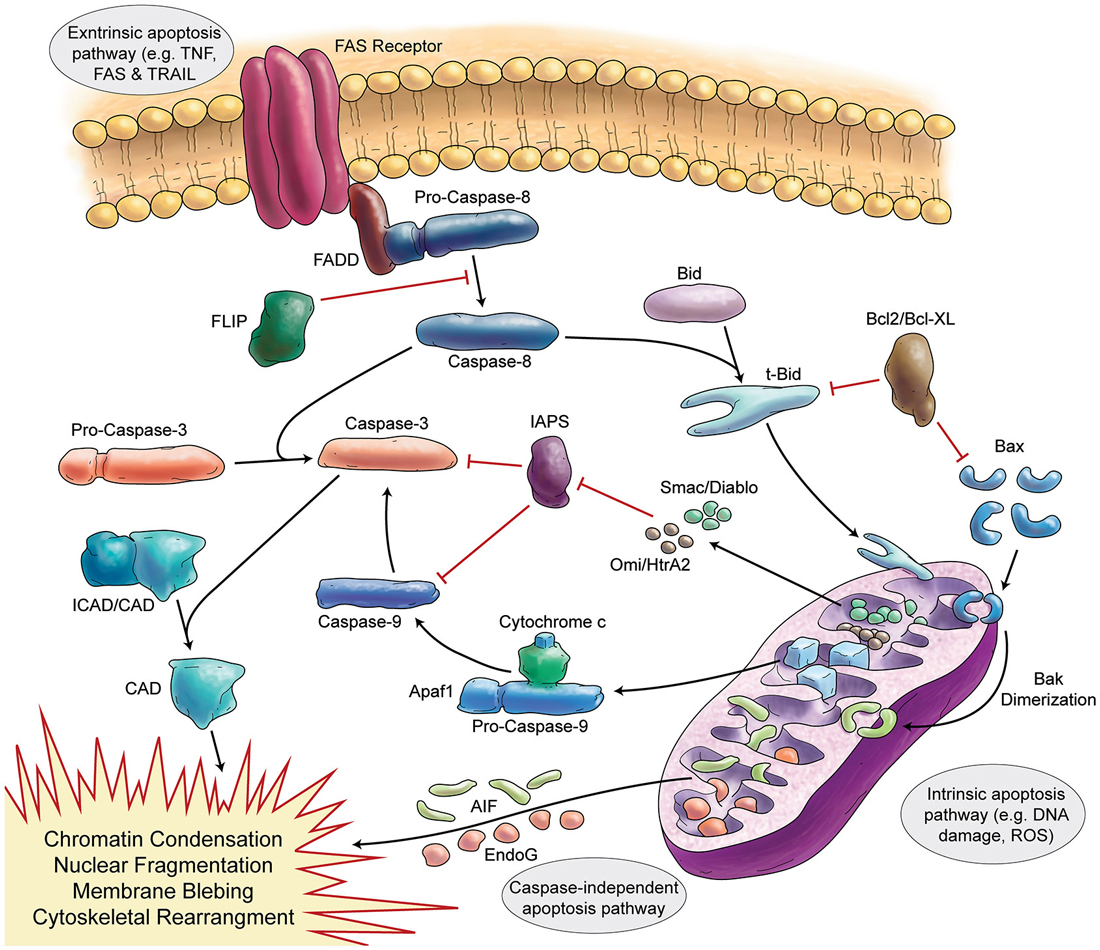 an overview of the apoptosis pathway in a cell