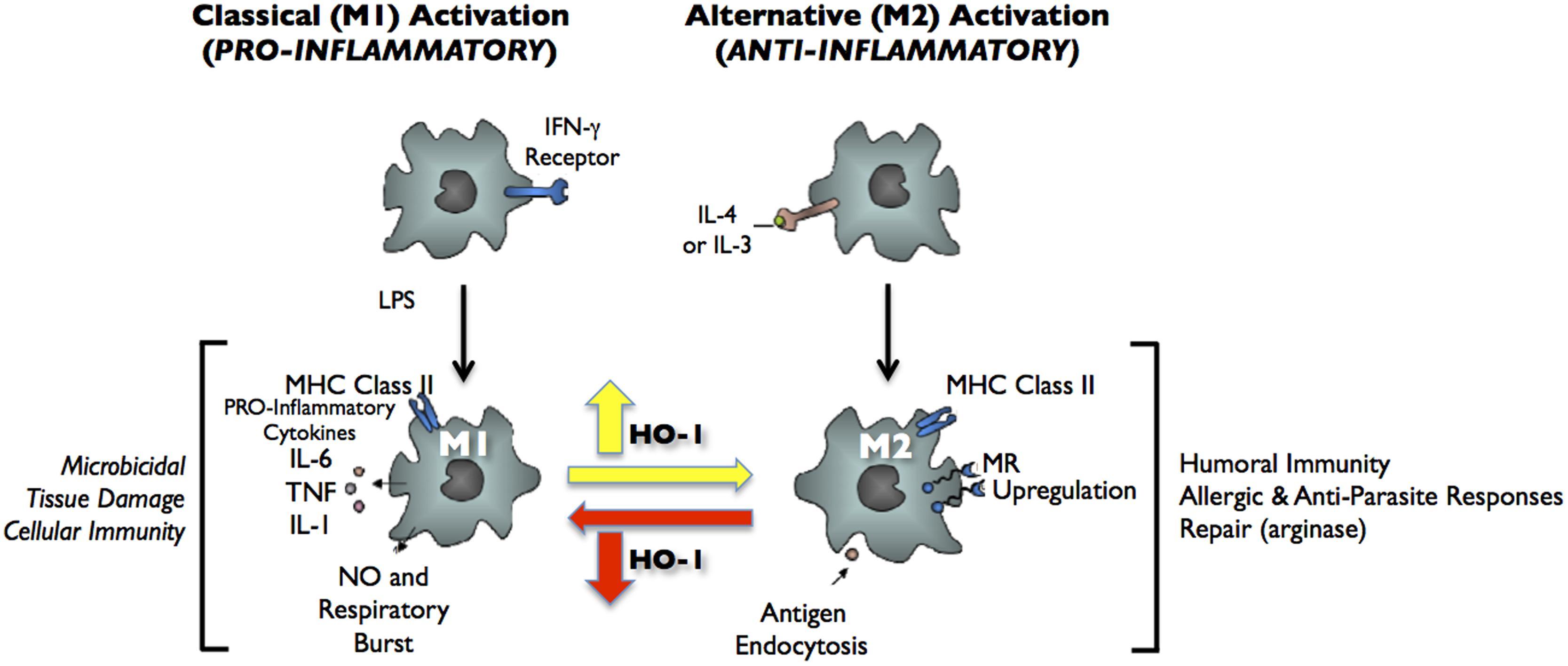 anti inflammatory steroids ppt