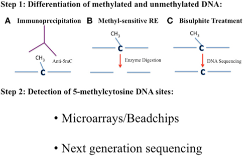 Standard cloning vectors besides Rime further Restriction Fragment Length Polymorphism Rflp Analysis likewise Zymogen also Placozoa. on dna digestion