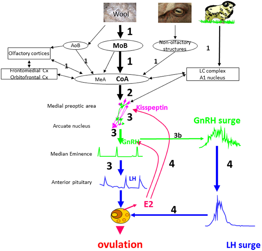 Frontiers The Ram Effect New Insights Into Neural