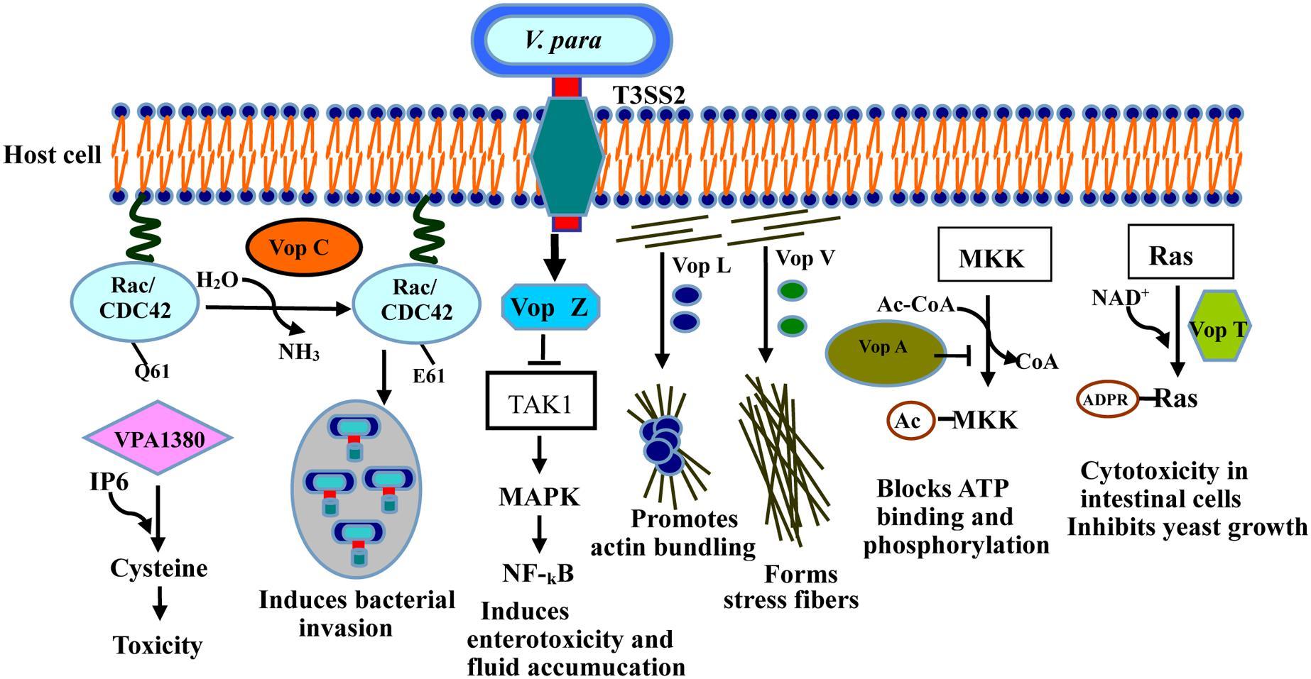 Infecciones por Escherichia coli MedlinePlus en español