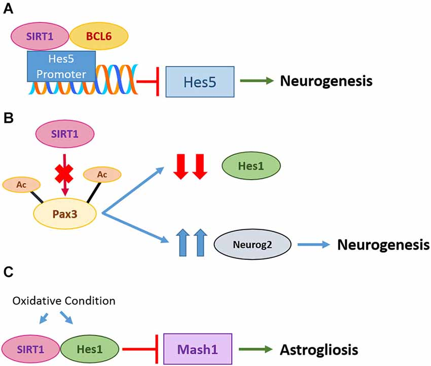 mechanism of action of corticosteroids in allergic rhinitis