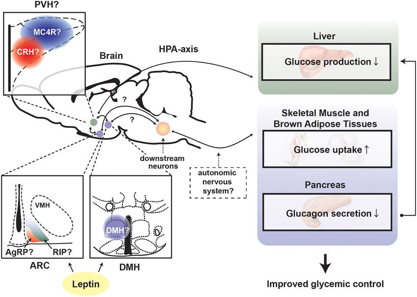 insulin mechanism of action