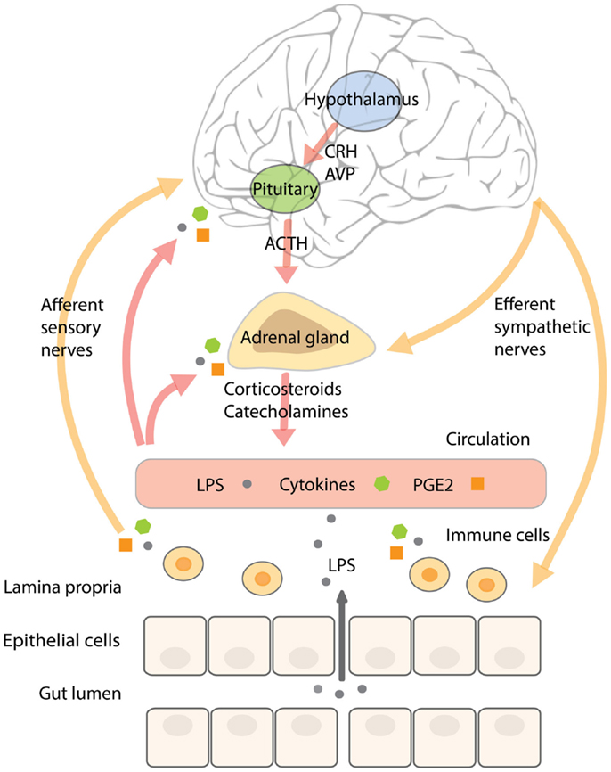 corticosteroids function in the body