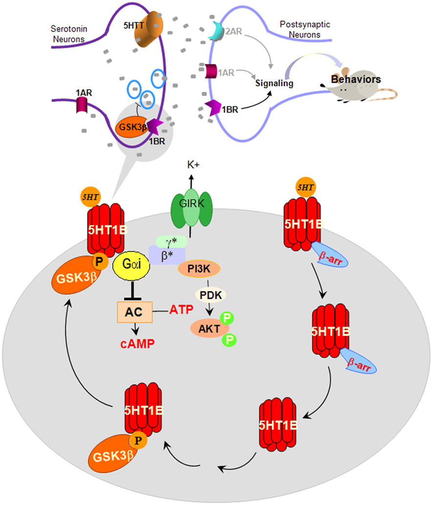 Frontiers | Gly... G Protein Coupled Receptors Pathway