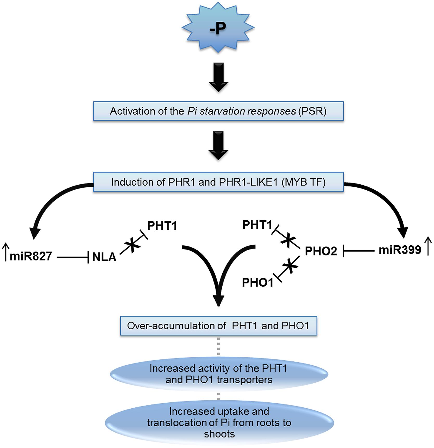 plant homeostatic genes The maintenance of a steady body temperature in warm-blooded animals is an example of homeostasis in human beings, the homeostatic regulation of body temperature.