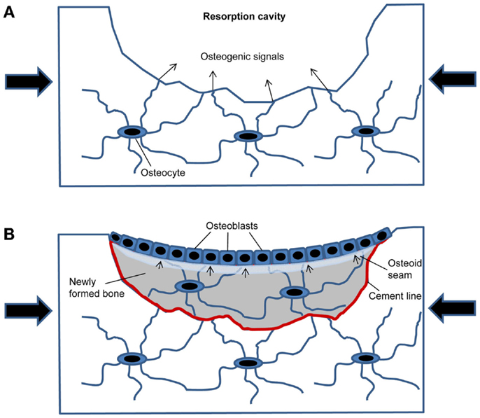 an introduction to the hypogravitational osteoporosis Your bones in space essay examples hypogravitational osteoporosis a review an introduction to the issue of.