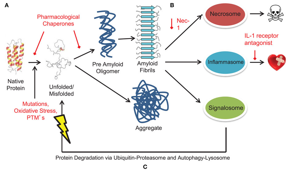 Amyloid cascade hypothesis - definition of amyloid