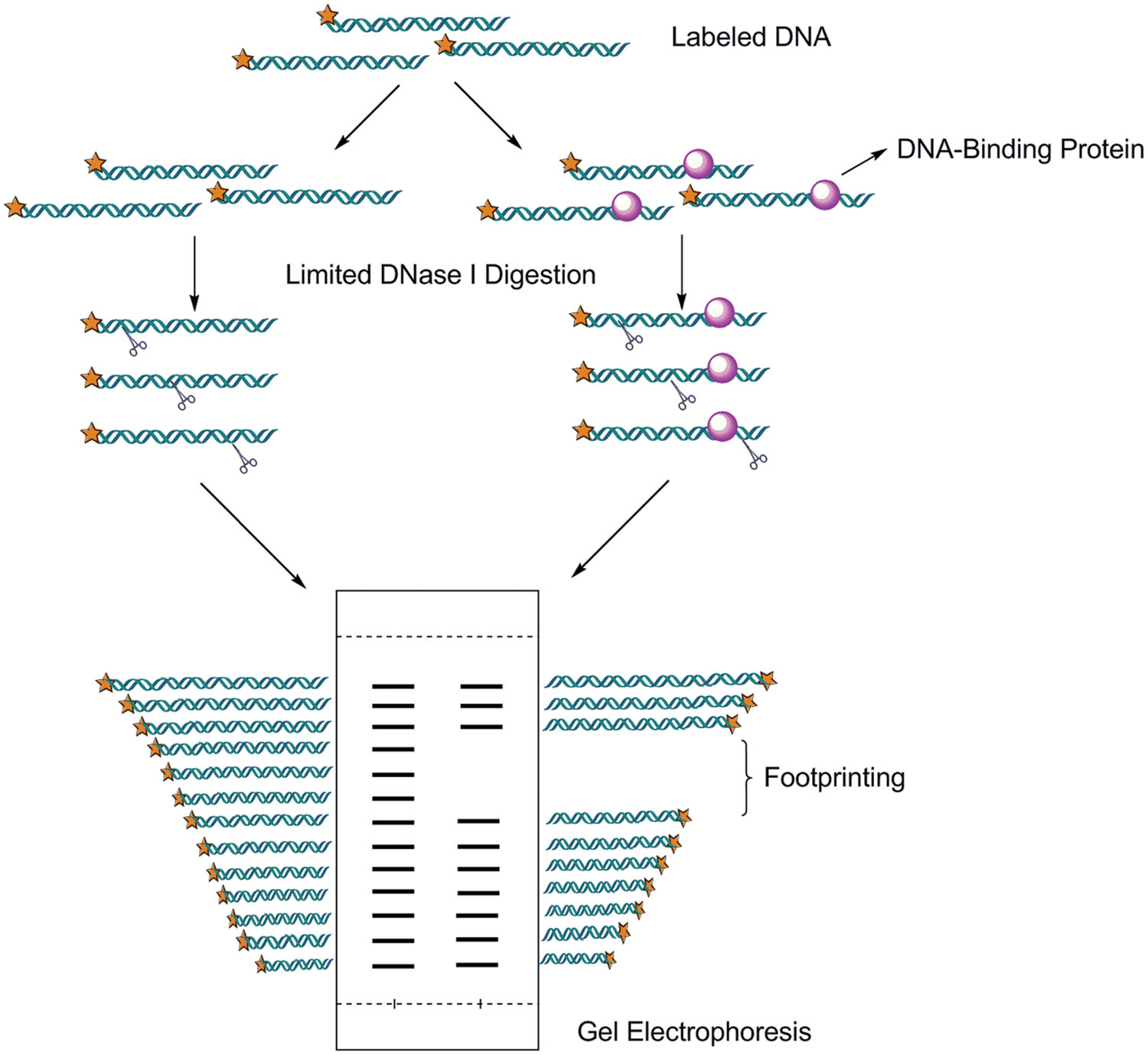 Pathogenesis furthermore Buccal Epithelial Cells furthermore Full as well Case490 likewise Surveyor nuclease assay. on dna digestion