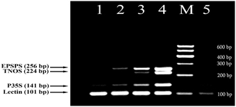 detection of genetically modified maize in Detection of genetically modified maize by multiplex pcr method - genetically modified maizemultiplex pcr.