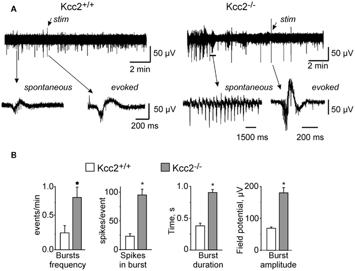 Field Potential Recording Hippocampus Field Potential Recordings