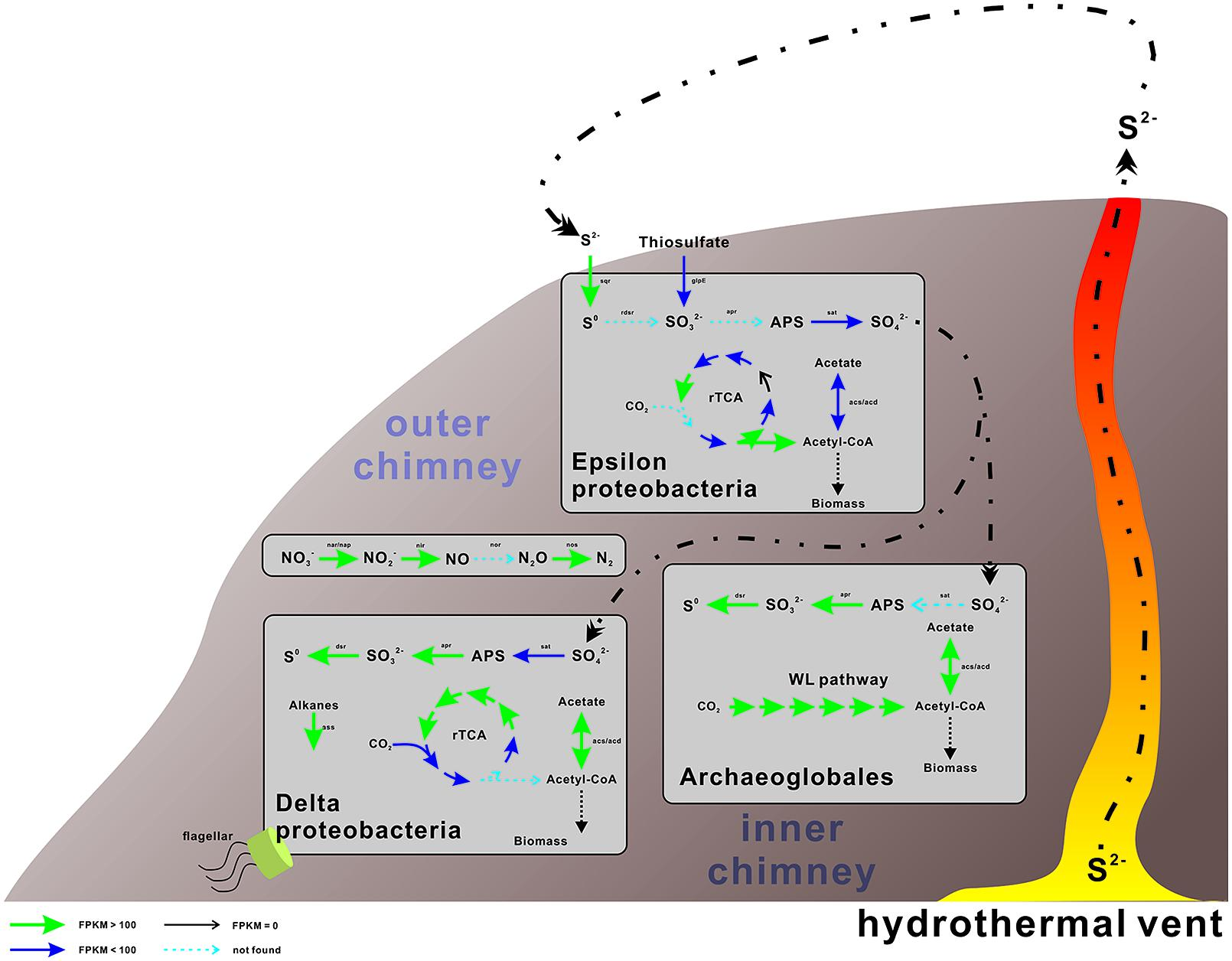 organism hydrothermal vent engages chemosynthesis Hydrothermal vent hydrothermal vents and chemosynthesis: organisms in hydrothermal vents must acquire energy in.